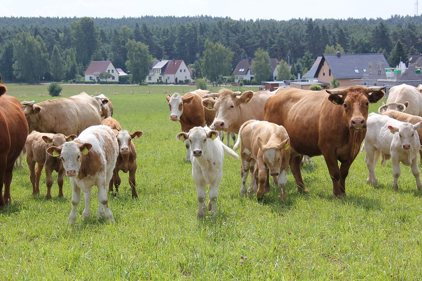Kuhweide bei Oßling im Landkreis Bautzen. Foto: BautzenerBote