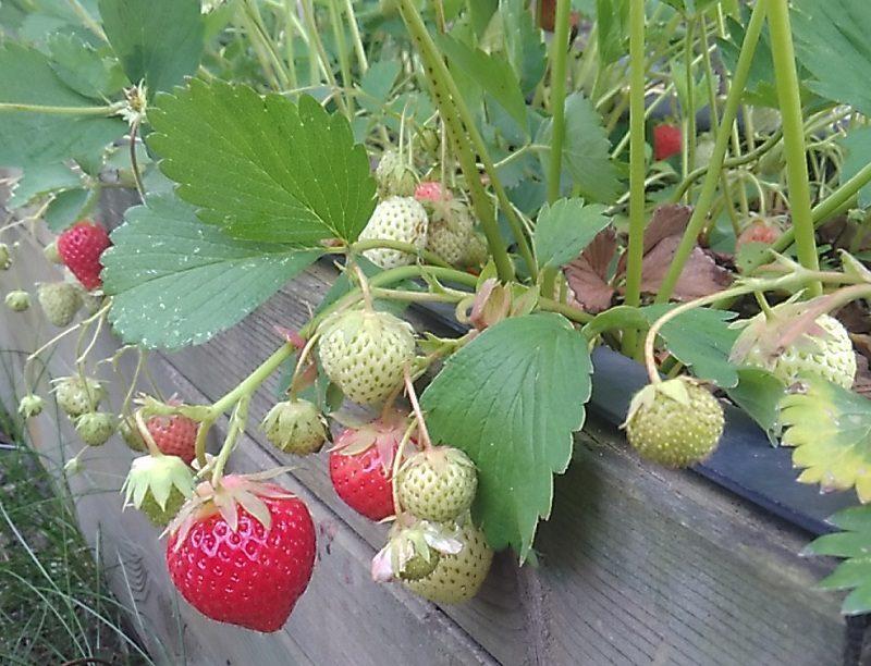 heimische erdbeeren sind die beste wahl bautzener bote. Black Bedroom Furniture Sets. Home Design Ideas